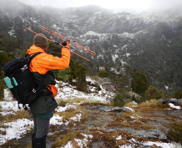 Doc Fiordland kiwi ranger Tim Raemaekers searches for signals from adult tokoeka kiwis. PHOTO:...
