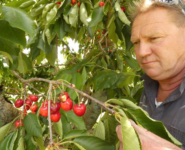 Cromwell cherry orchardist Mark Jackson shows cherries which have been pecked by scavenging birds. Photo: Alexia Johnston