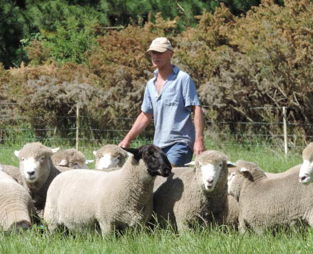 The Ross family, from Hakataramea, has been breeding stud sheep for more than six decades. Eric Ross recently topped the Canterbury A&P Association's elite ram and ewe sale, selling a Suffolk ram for $12,500. Photos: Sally Brooker