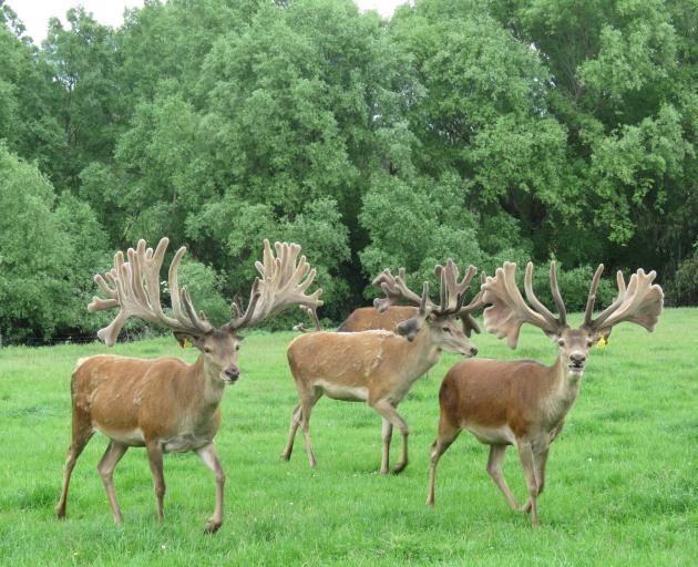 Deer enjoy the pasture and shelter provided at Foveran. Photo: Supplied