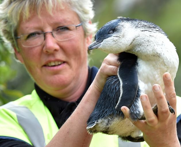 Pukekura Trust scientist Hiltrun Ratz holds a record-breakingly large penguin at Pilots Beach yesterday. Photo: Peter McIntosh