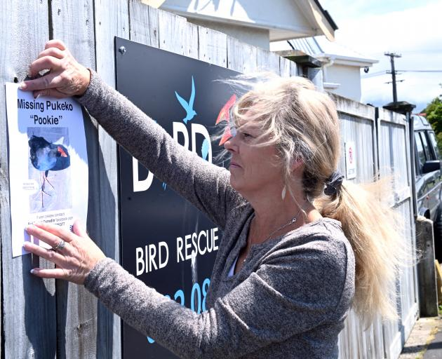 Bird Rescue Dunedin owner Sue Cook is searching for her missing colleague, Pookie the pukeko....