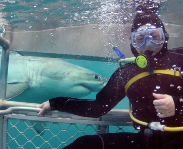 A great white shark cruises past a shark cage diver off Edwards Island, near Stewart Island.PHOTO...