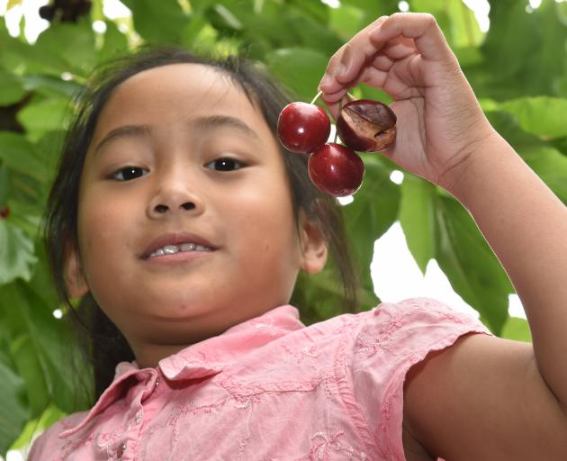 Alexa Elibare (7), of Oamaru, shows some of the rain-affected cherries at Darlings Orchard in the...