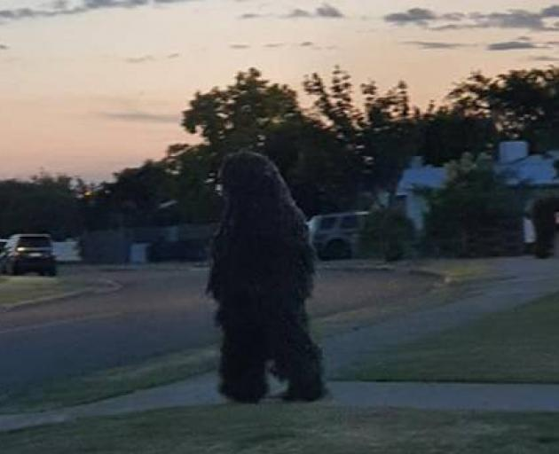 A woman had to veer her car to miss a man dressed as a bush in Napier. Photo: Supplied