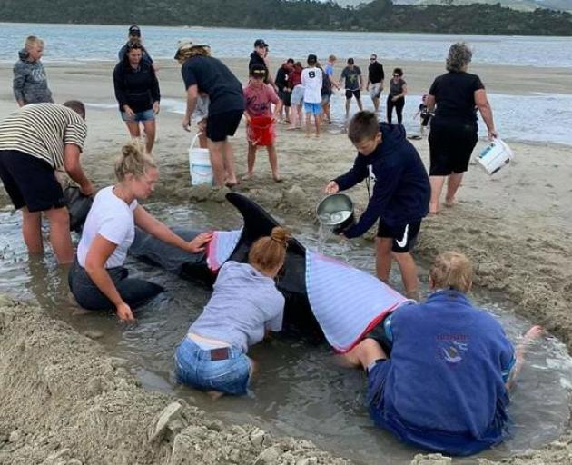 Locals and holidaymakers have been comforting the pod of stranded whales that washed up on a...