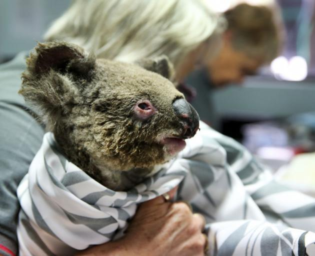 A koala recovers from burns at The Port Macquarie Koala Hospital. Photo: Getty Images
