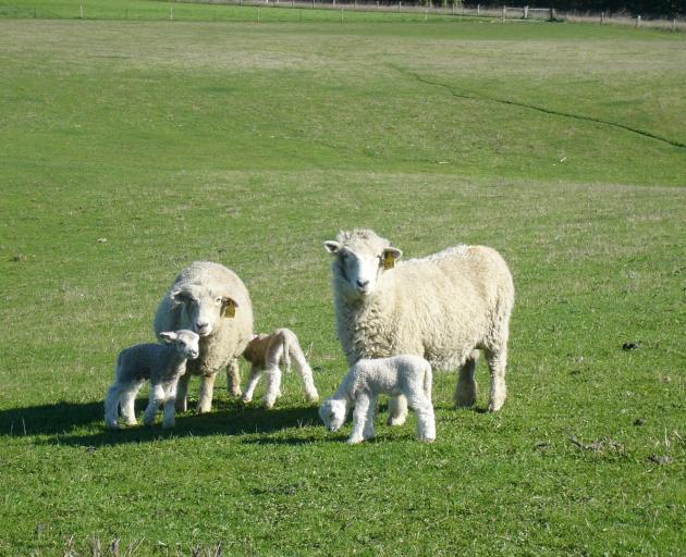 A drier autumn and reduced feed contributed to the average lambing percentage in Marlborough-Canterbury dropping 5.9 percentage points to about 123.5%. Photo: Central Rural Life files