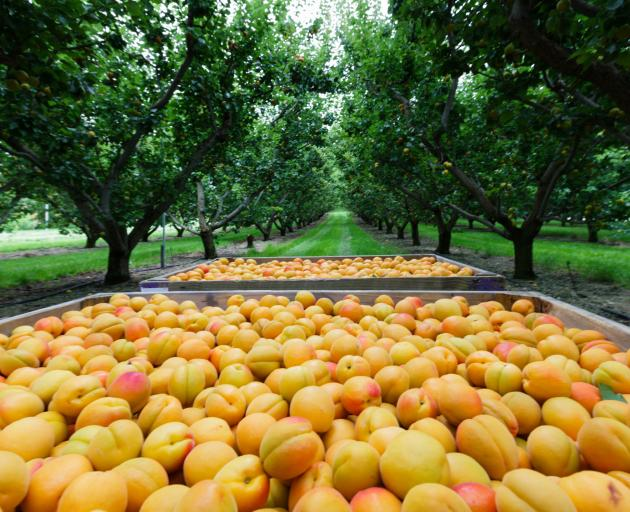 Apricots harvested on an Alexandra orchard. PGW's horticulture supply business Fruitfed was a...