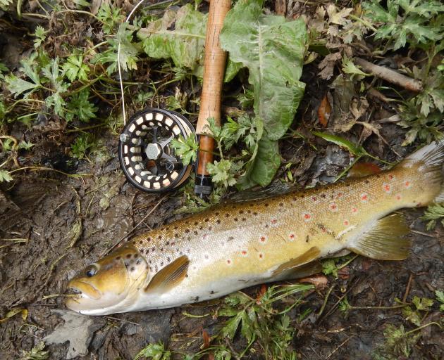 A 1.5kg brown trout.