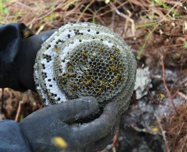 While this wasp nest was small, Mr Scott said the biggest nest he had dealt with was a few years...