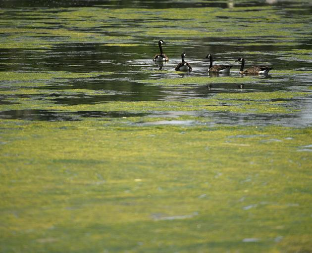 Algal bloom on the water. Photo: Supplied