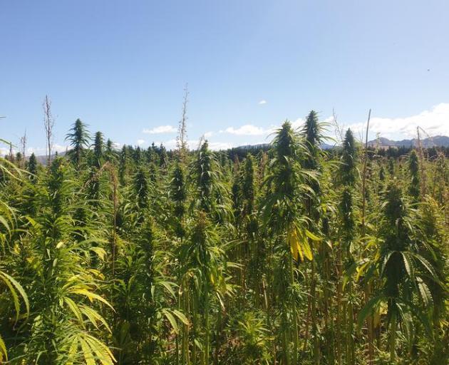 The Culverden hemp crops visitors saw. Photo: RNZ
