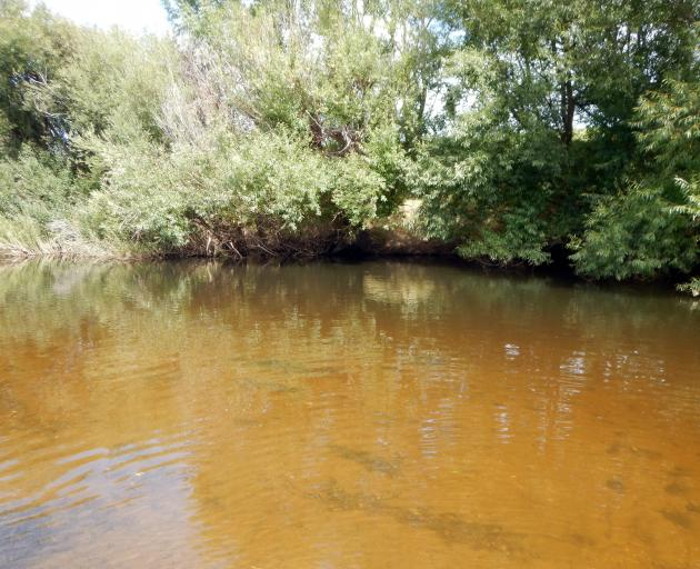 Typical lower Taieri willow-grubbing water is slow and deep, of course with overhanging willows....