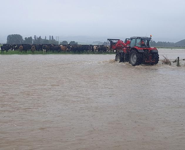 Kelso dairy farmer Adam McCall attends to stock stranded by the Pomahaka River. Photo: Georgie McCall/Supplied