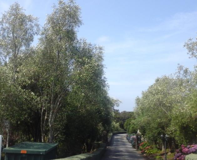 An avenue of olive trees at the entrance of Corstorphine House. The silvery shimmer from the...