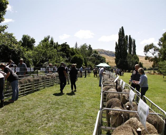 The weather was good and buyers had a good chance to view rams during the Nine Mile Station's annual merino ram sale last week. Photo: Supplied
