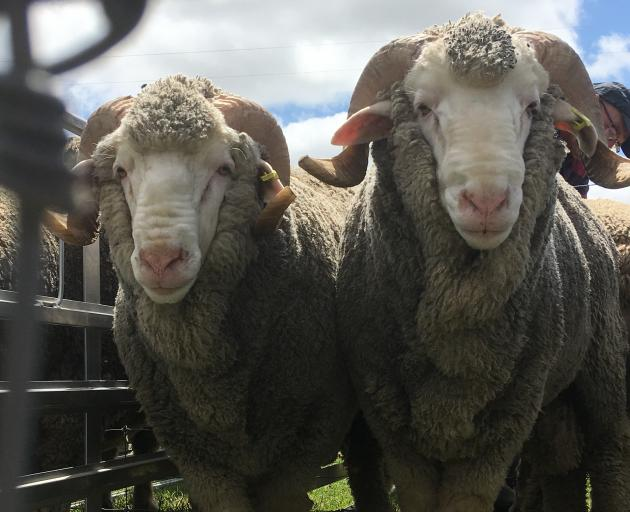 .Otago merino breeders will be hosting international and domestic visitors as part of the Merino Excellence tour in March. Photo: SRL Archives