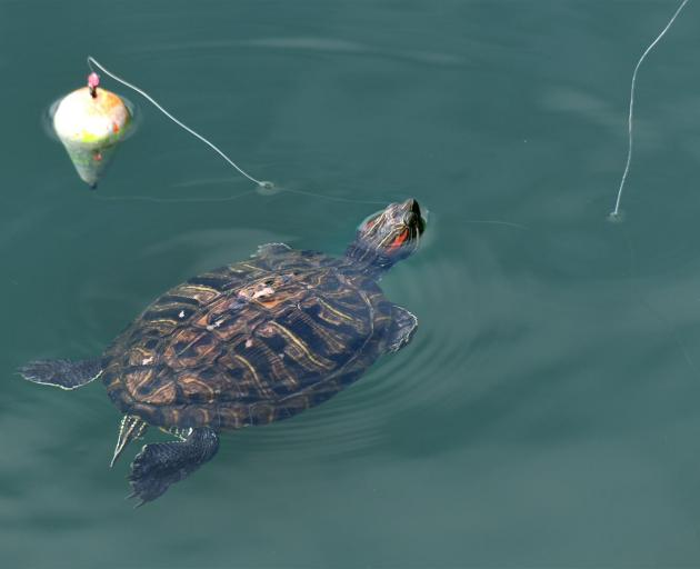 The red-eared pond slider — a type of freshwater turtle — swims amid fishing floats in the...