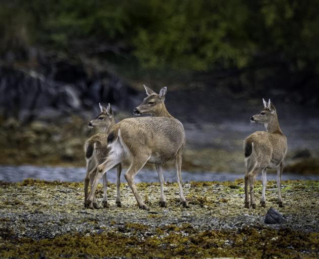 Sitka black-tail deer.