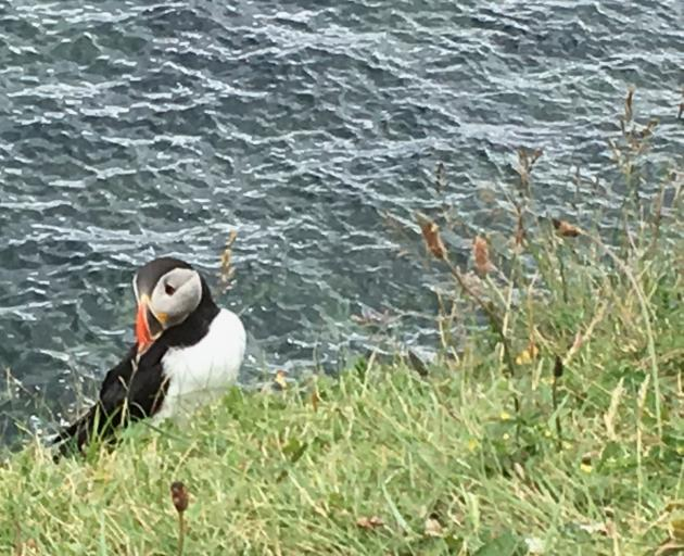 A puffin collects grass on Staffa to line its burrow