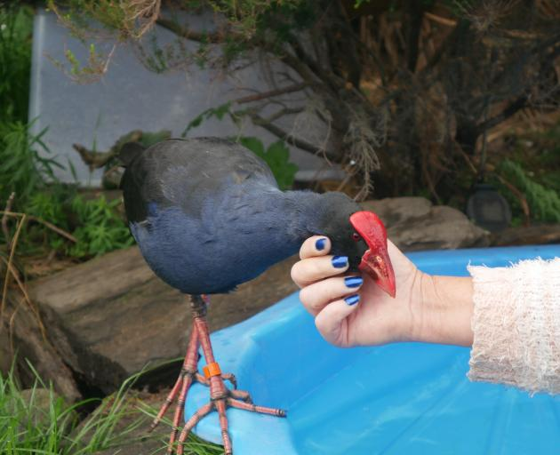 Pookie the pukeko, getting a scratch from Bird Rescue Dunedin founder Sue Cook, was recently...