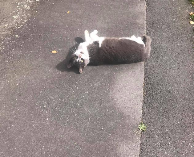 The neighbourhood cat lazing in the Upper Riccarton sun.