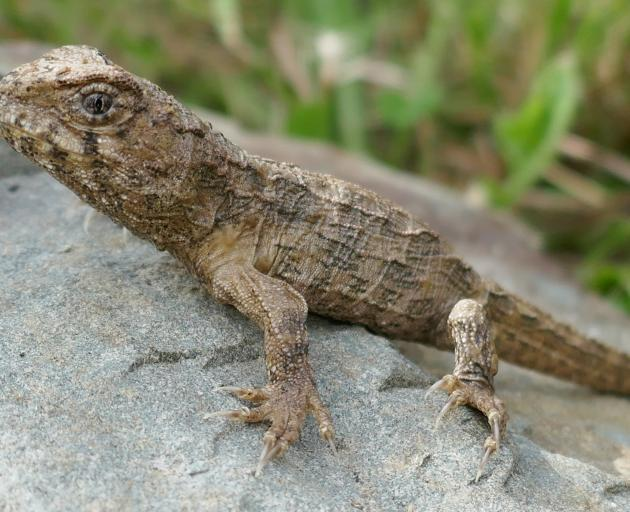 One of the hatchling tuatara, which has already lost the shell-breaker from its snout. Photo...