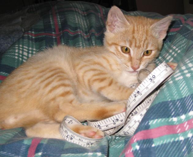 Covid Kitty (Covey for short) hindering knitting measuring. PHOTOS: ELSPETH MCLEAN