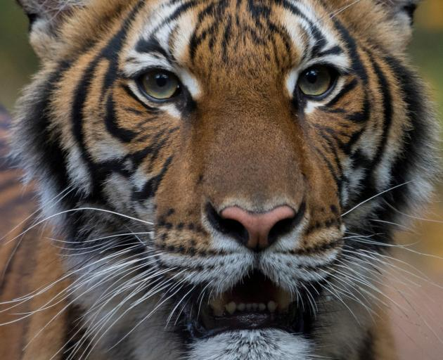 Nadia, a 4-year-old female Malayan tiger at the Bronx Zoo, that the zoo said has tested positive for Covid-19. Photo: WCS/Handout via Reuters