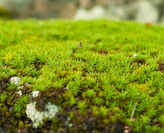 Green sphagnum moss close up with blurred background. Photo: Getty Images