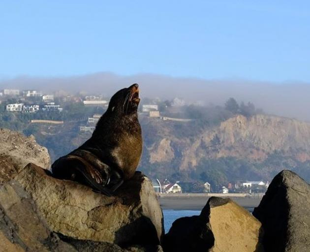 A Lyttelton resident took a photo of the seal basking on the rocks. Photo: Claire Buttigieg