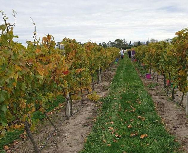 Bumper crop ...One and a-half tonnes of grapes were harvested to make pinot noir wine. PHOTO:...