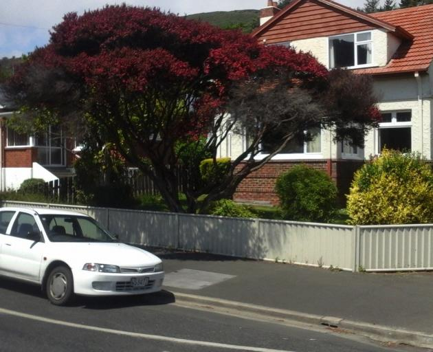 This beautiful manuka in North Rd is somewhat diminished now, following a recent ...