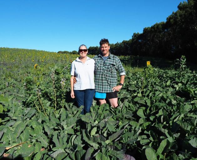 Sunflower Trials...As part of their interest in regenerative farming, Tuturau sheep farmers Megan...