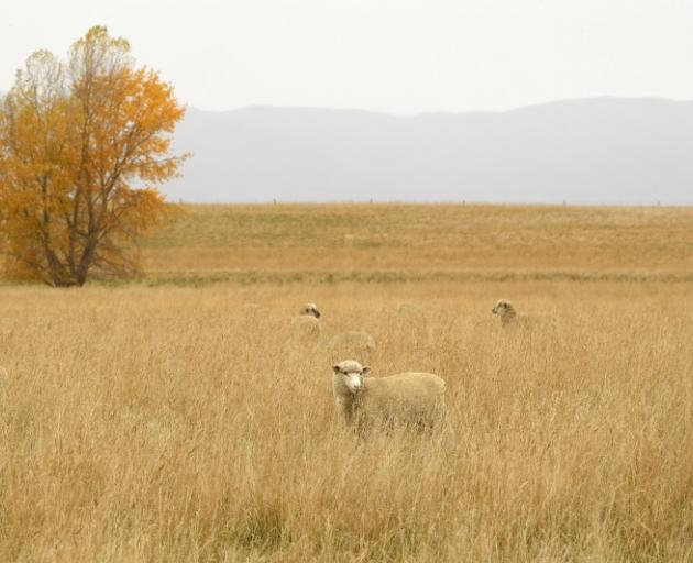 Browned off...Sheep graze in a paddock near Danseys Pass. This year's winter is expected to be...