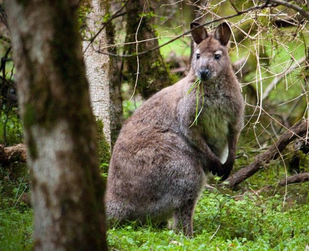 Bennett's wallaby. PHOTO: ENVIRONMENT CANTERBURY