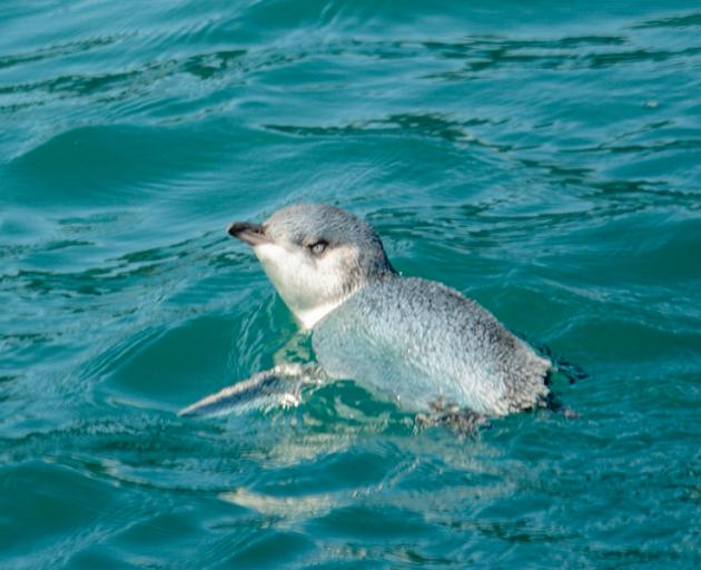 Photo: Akaroadolphins.co.nz