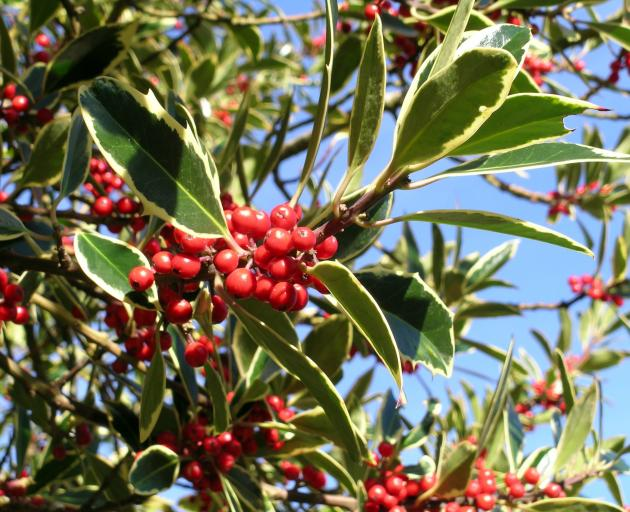 Holly berries are poisonous.