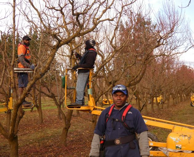 Robin Tuku at work in Strode Road Orchard near Clyde. He and his fellow Ni-Vanuatu workers remain...