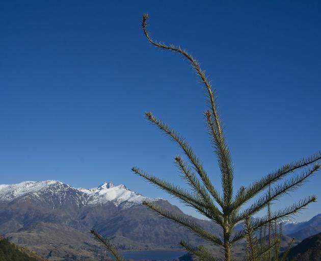 Wilding trees are a major problem in some areas of the South Island,  including Queenstown.