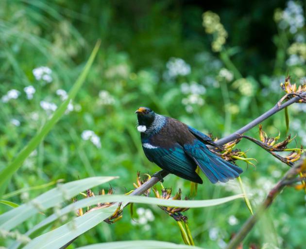 The tui (Prosthemadera novaeseelandiae). Photo: Getty Images