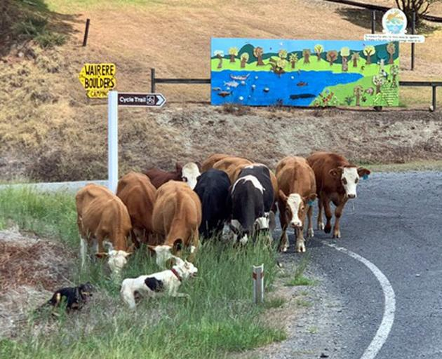 Rounding up wayward cattle on the cycle trail