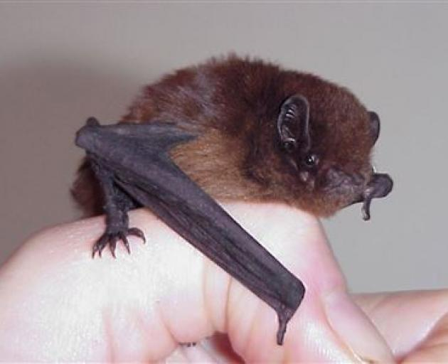 A long-tailed bat. Photo: DOC