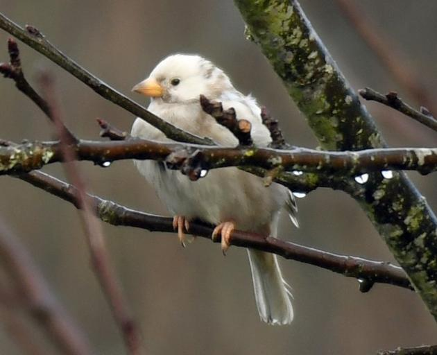 This white sparrow has made himself a home in Dunedin's Chingford Park. PHOTO: STEPHEN JAQUIERY