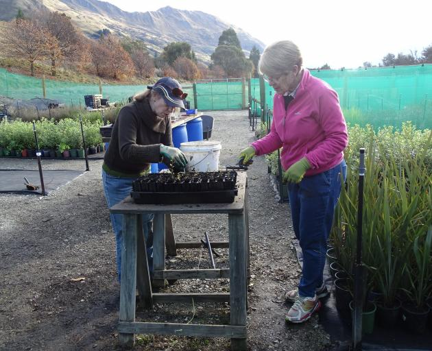 Volunteers Louise Hargreaves and Barbara Ladyman (right) removing weeds from around beech saplings grown during the weeks of the Covid-19 lockdown at the Te Kakano nursery. Photo: Kerrie Waterworth