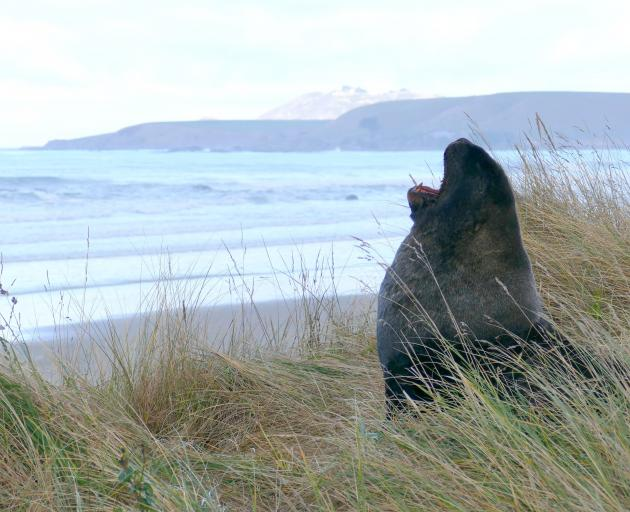 """Doc says reports of harassment of a resting bull sea lion at Kaka Pt yesterday are """"unacceptable""""..."""