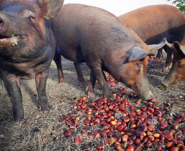 Pigs enjoy a diet of chestnuts and acorns at the Poaka Free Range Pigs farm. PHOTO: SUPPLIED BY...