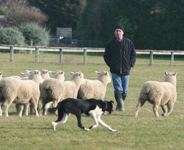 Fraser McKenzie works 4-year-old heading dog Ben during PGG Wrightson's 64th annual sheep and...