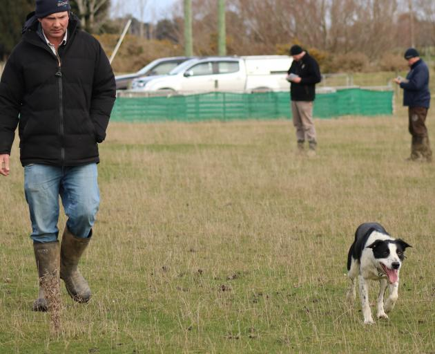 Heading dog Speck leads his former owner, Boyd Tisdall, of Outram, out of the paddock after going...